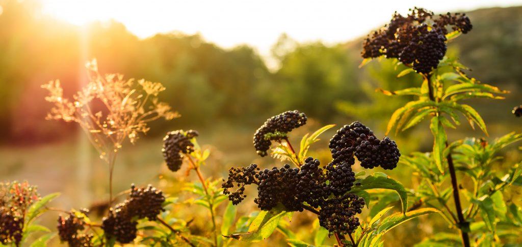 elderberry benefits for weight loss