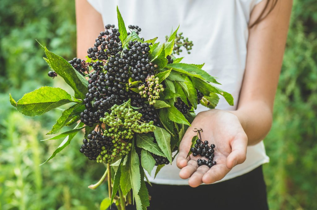 does elderberry help you lose weight