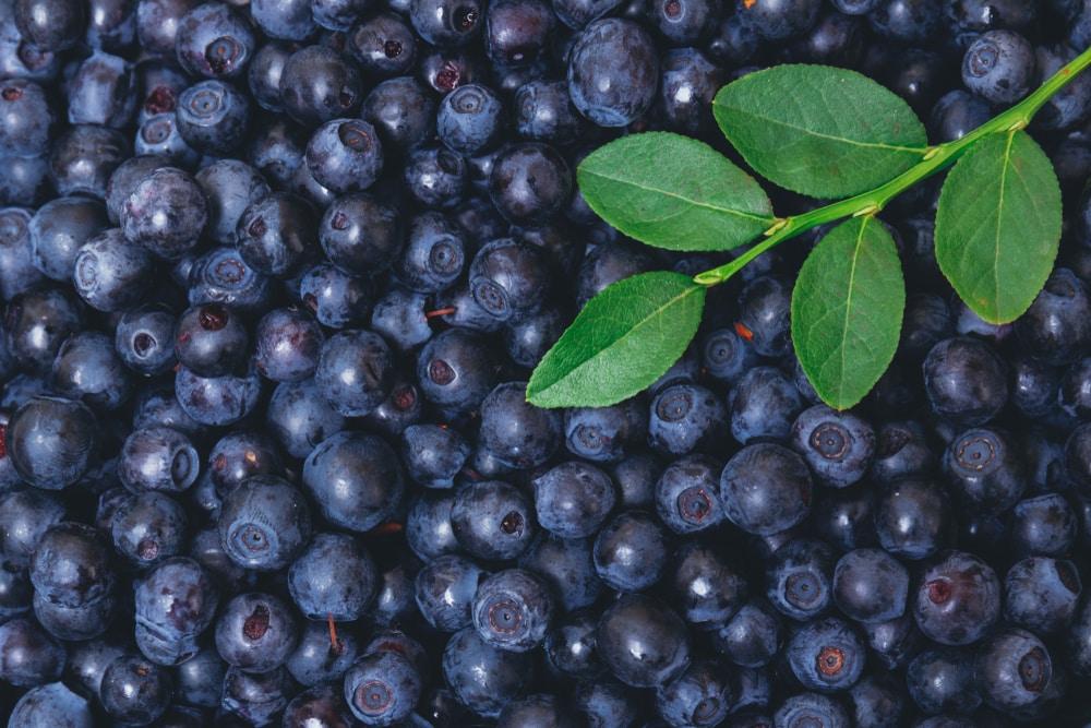 bilberry side effects