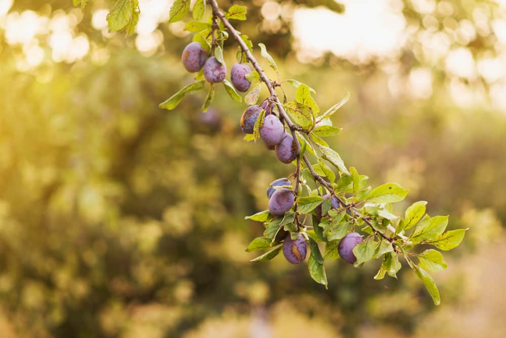 dried prunes benefits for weight loss