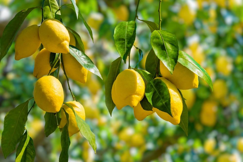 craving lemons