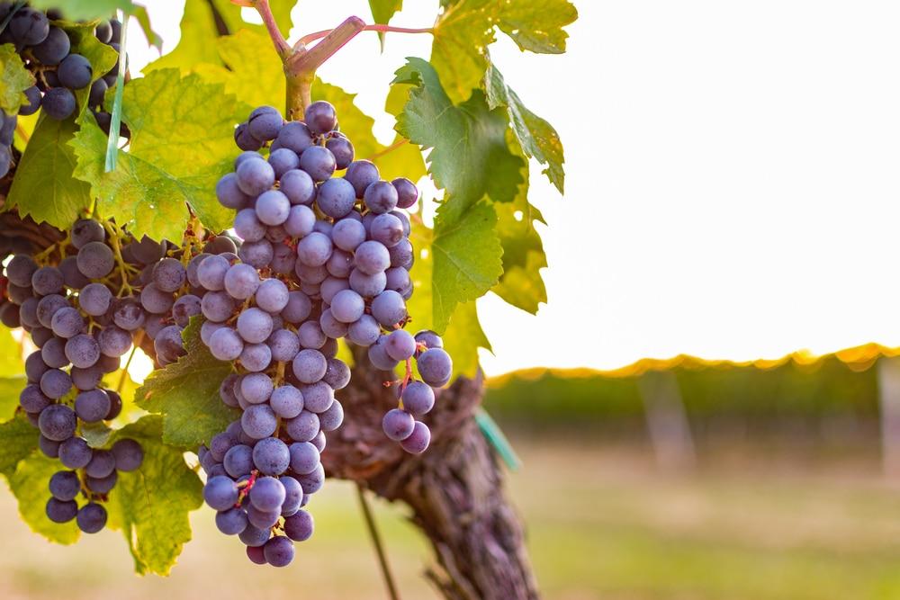 grape nutrition